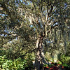 Spanish Moss hangs from Trees