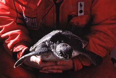 A rescued sea turtle on its way out to the gulf stream to be released off North Carolina.