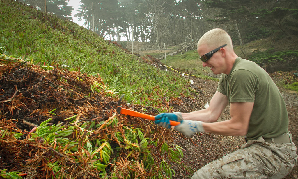 Marine Justin Anderson performs habitat restoration by pulling out Ice plant at Baker Beach in San Francisco, Calif., on Saturday, October 8, 2011.