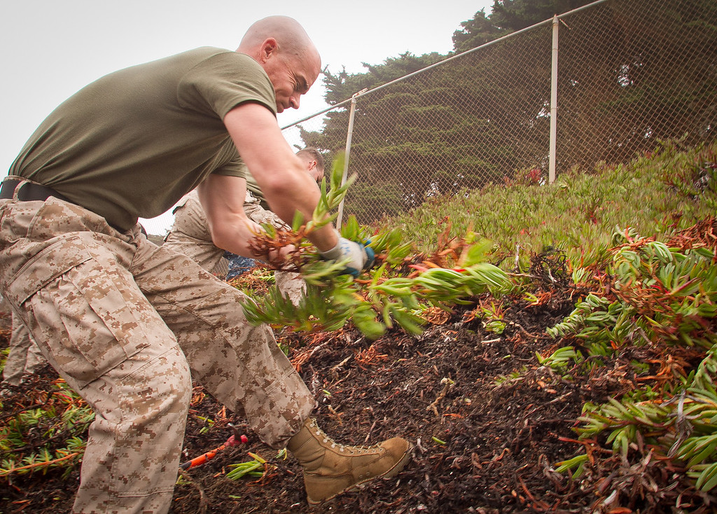 Marine John Anderson performs habitat restoration by pulling out Ice Plant at Baker Beach in San Francisco, Calif., on Saturday, October 8, 2011.