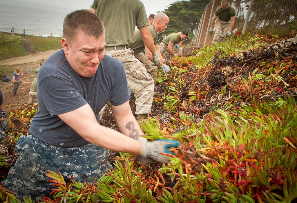 Navy seaman Jeffrey MacLauchlan performs habitat restoration by removing Ice plant at Baker Beach in San Francisco, Calif., on Saturday, October 8, 2011.
