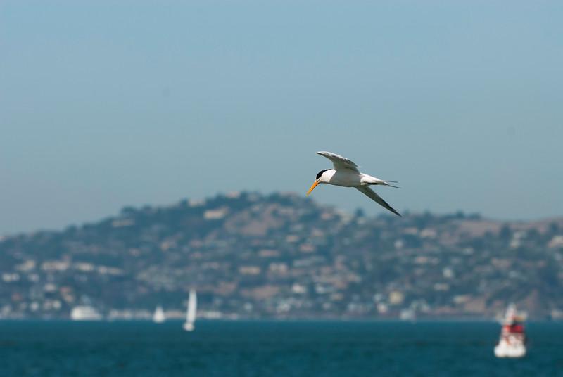 Elegant Tern over SF Bay