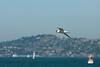 Elegant Tern over SF Bay