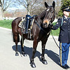 Hank serves as the caparisoned horse for the 30th Commandant of the Marine Corps, retired Gen. Carl E. Mundy, Jr.'s memorial ceremony, at the Marine Corps War Memorial in Arlington, Va., on April 12, 2014. A caparisoned horse and his walker follow behind the funeral procession without a rider and with boots worn reversed in the saddle to signify that the service member will never ride again. (U.S. Marine Corps photo by Sgt. Marionne T. Mangrum)