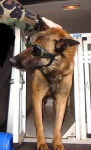 A deployed military working dog, wearing Doggles to protect her eyes from the desert sandstorms, gets ready for the day's mission.