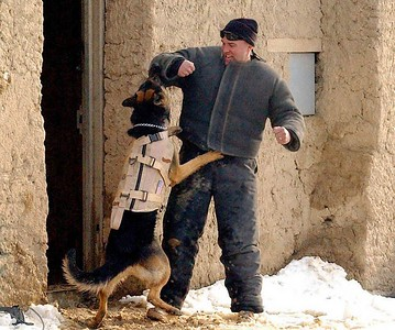 "SGT Danny Rogers, a 25th Military Police Company dog handler, is ""attacked"" by a military working dog, during a training exercise at Bagram Airfield."