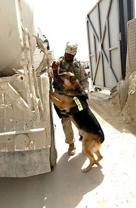 Sgt. Grady Bentley, 58th MP Co. a dog handler, instructs Britt to search a cement truck for explosives prior to the truck entering Bagram Air Base. The K-9s serve as an addition to the force protection efforts conducted daily by MPs. They are also trained to participate in combat patrols.