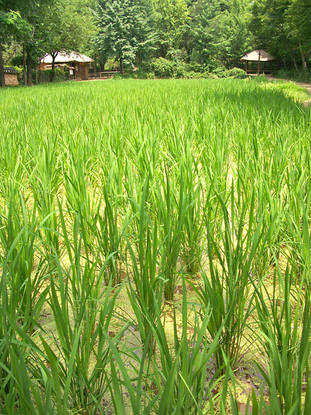 rice paddie...how exactly do we get rice from this?