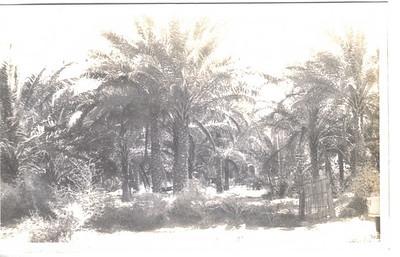 26 Date Plantation