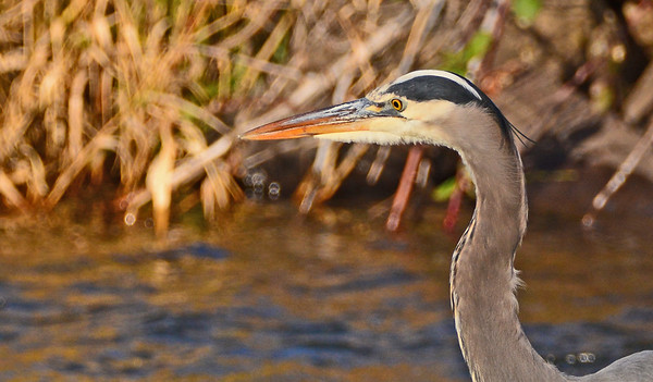 Mill Creek: A Great Blue Heron, A Pair of Hooded Mergansers: 11-28-16 and 12-3-16.