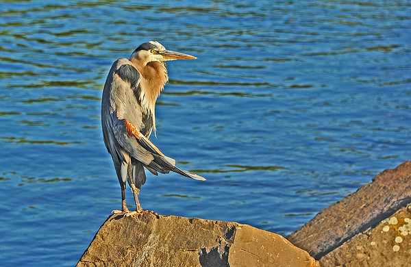 Mill Creek: A sunbathing Heron and browsing goats, 5-11-16