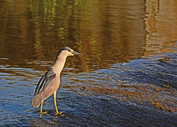Mill Creek (Night/Blue Herons, Yellow Warbler, Fogs, Young Mergansers, Etc.) 6-27-16