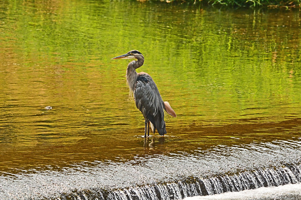 Mill Creek Great Blue Heron Posing, Preening and strutting in Reflective Light on the water_8-13-18