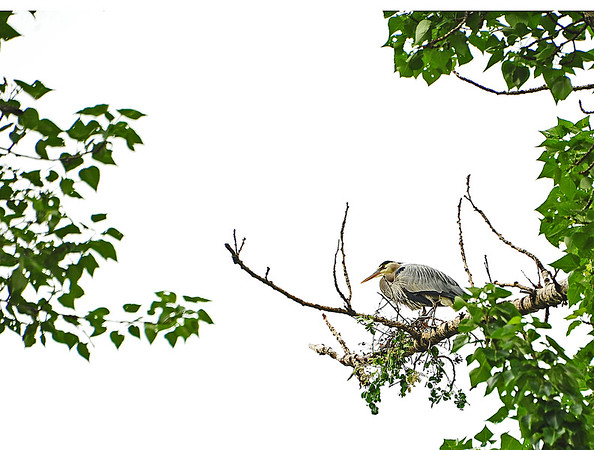 Mill Creek Heron Loses Nest to Big Wind, 5-5-16