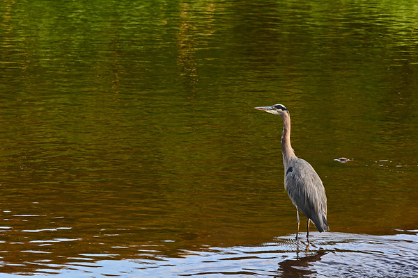 Mill Creek Heron Stalking. ETC: 9-17-18