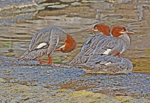 Mill Creek Merganser Family (or two): 8-4-17