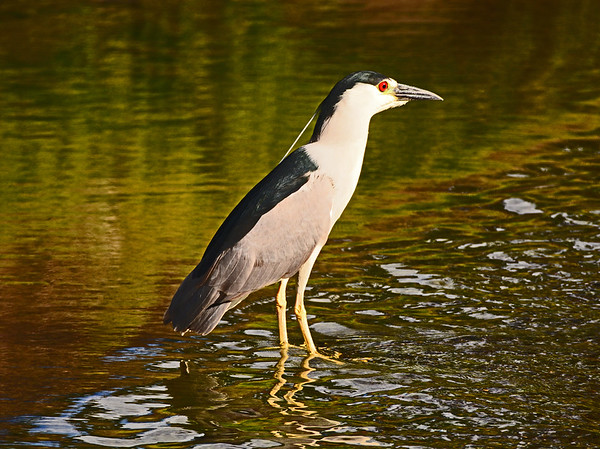 Mill Creek Night Heron, Etc.,  6-25-16