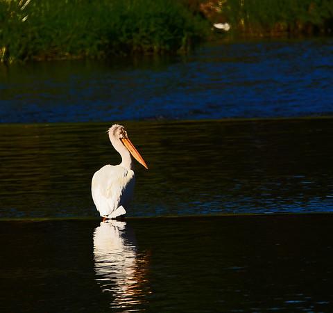 Mill Creek Pelicans Preening, a Heron Stalking &, Swallows Swoopiing. 6-3-16