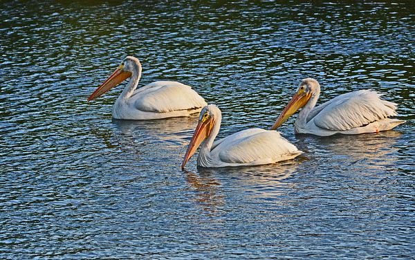 Mill Creek: Three American White Pelicans, 7-22-16