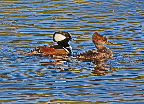 Mill Creek Two Hooded Mergansers, One Heron Launching, 10-28-16