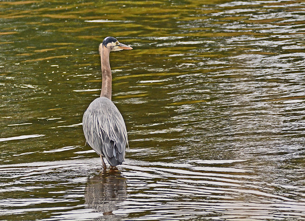 Mill Creek and Sand Point Pelicans and Herons, 5-24-16