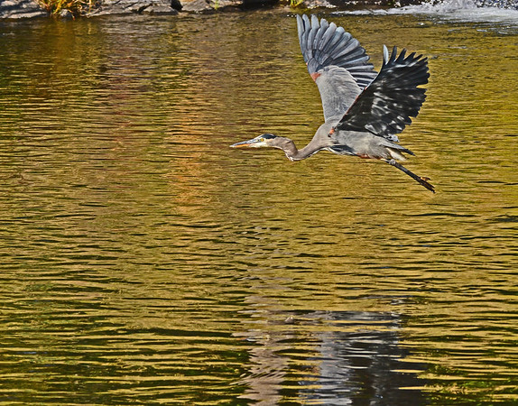 Mill Creek Happy dogs, a Great Blue Heron Launching and bright fall leaves: 9-28-17