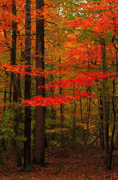 shenandoah trees