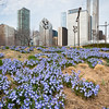 Early spring flowers violet Glory of the Snow in Lurie Garden Millennium Park 2017