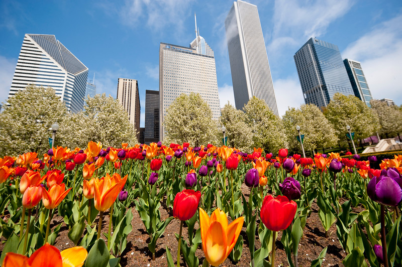 Tulips bloom in Millennium Park