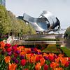 Tulips bloom in Millennium Park