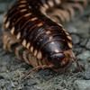 Millipede, Virginia