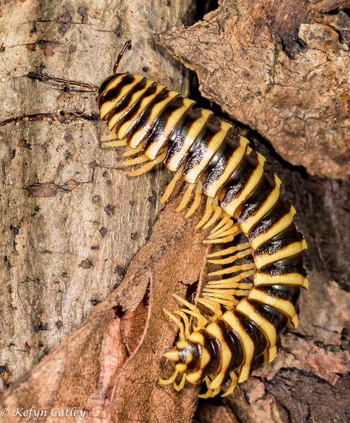 MYRIAPODA: Xystodesmidae: Cherokia georgiana