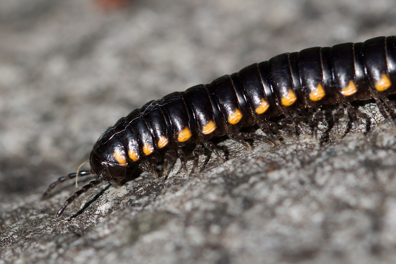 Unidentified Millipede (Diplopoda)