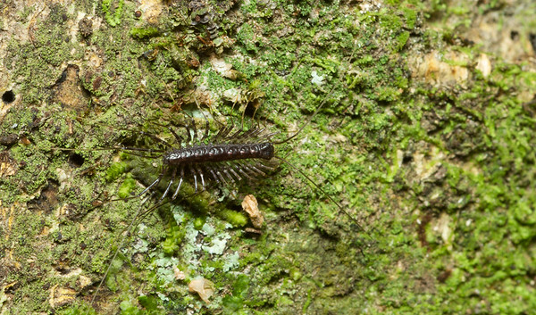 Centipede (presumably Scutigera sp.) from Costa Rica.
