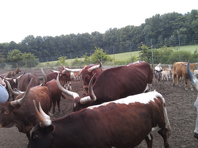 Hungry steers