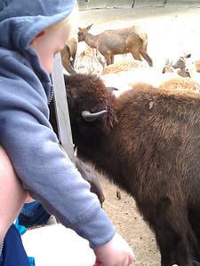 Milo meets a bison.