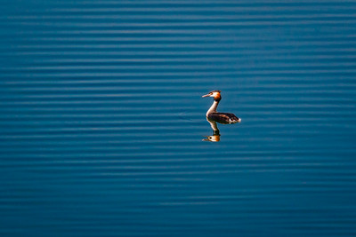Pedro - Ripples with Grebe