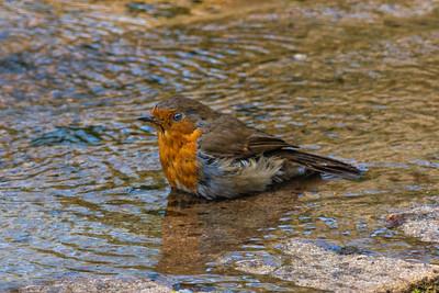 Morag - Robin Bathing