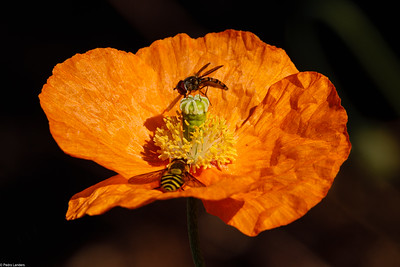 Poppy and Visitors