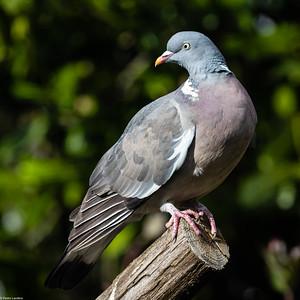 Wood Pigeon in the Sun