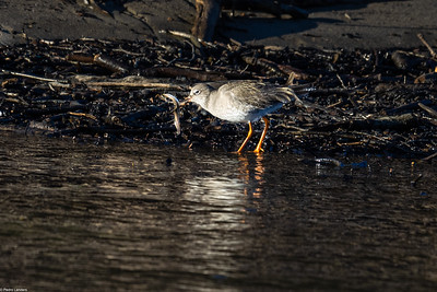 Redshank with Eel