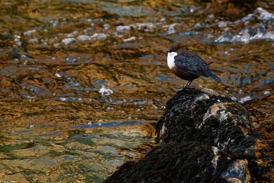 Dipper on the Tavy