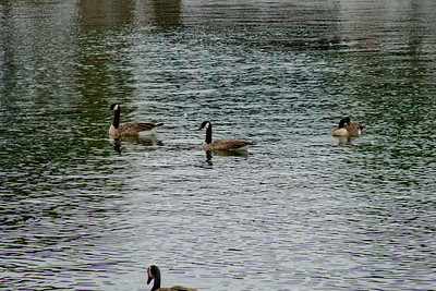 Floating Geese at the Docks in Milwaukee