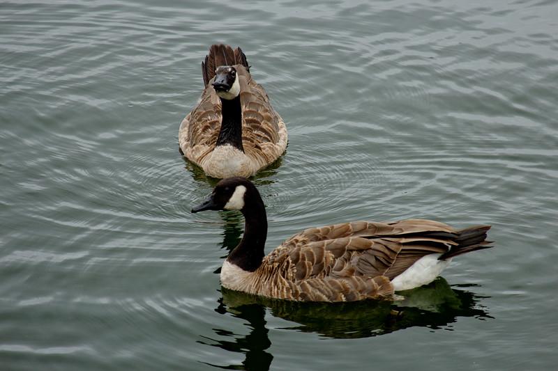 Goose Eye Contact in Milwaukee