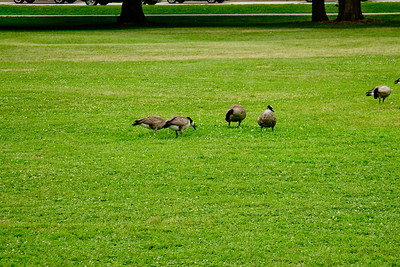 Geese and Grass 2