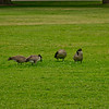 Geese and Grass 3
