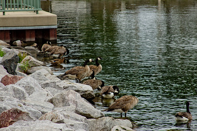 Family of Geese in Milwaukee 2