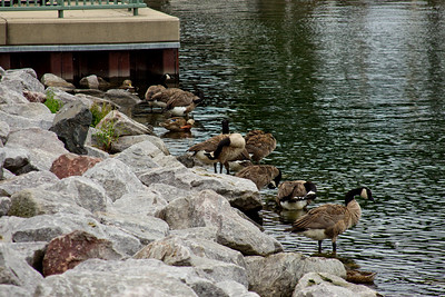 Geese on the Rocks in Milwaukee