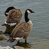 Pair of Geese at the Water in Milwaukee