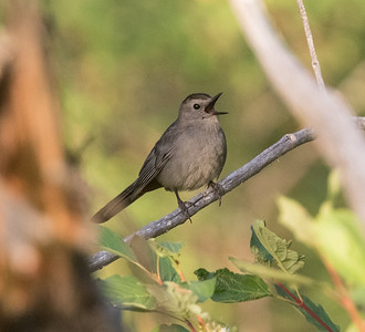 Gray Catbird Lee Vining 2020 07 25-4.CR2